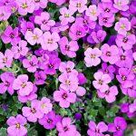 Flowers: Perennials vs Annuals
